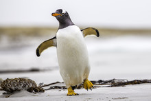 Gentoo Penguin (Pygoscelis Papua) Walking With Wings Spread. Fal
