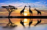 żyrafy w jeziorze