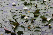 Water Lily Flowers 7719