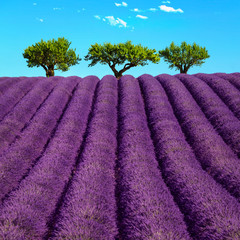 Obraz na Szkle Lawenda Lavender and trees uphill. Provence, France
