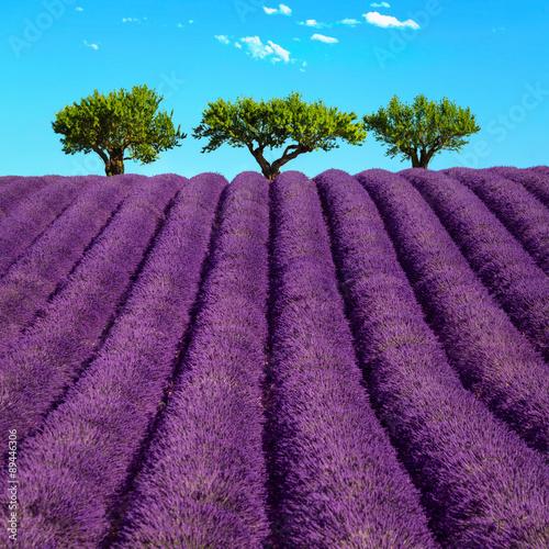trzy-drzewa-na-horyzoncie-i-kwitnace-lawendy-wokol-prowansja-francja