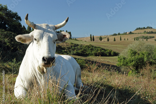 Carta da parati closeup of white tuscan cow on pasture with hills on the backgro