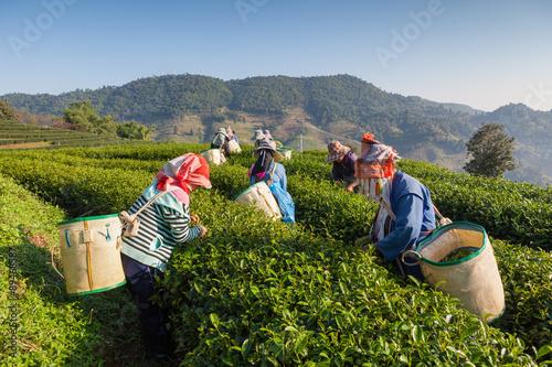 Fotografía Tea plantation at Chui Fong , Chiang Rai, Thailand.