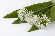Fresh Ramsons (wild Garlic) Le...