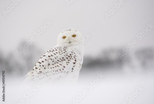 In de dag Uil snowy owl