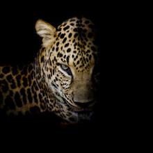 Leopard Portrait Isolate On Bl...