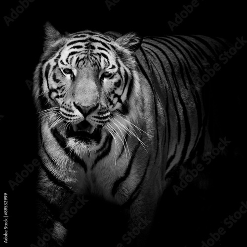 Fotomurales - Close up black & white tiger growl isolated on black background