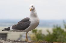 A Curious Seagull..