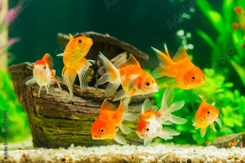 Foto Goldfish in aquarium with green plants