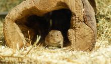 Maus Am Eingang Ihrer Behausung