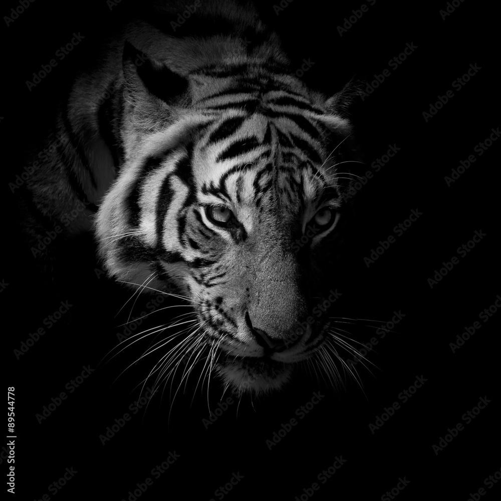 einzelne bedruckte Lamellen - black & white close up face tiger isolated on black background