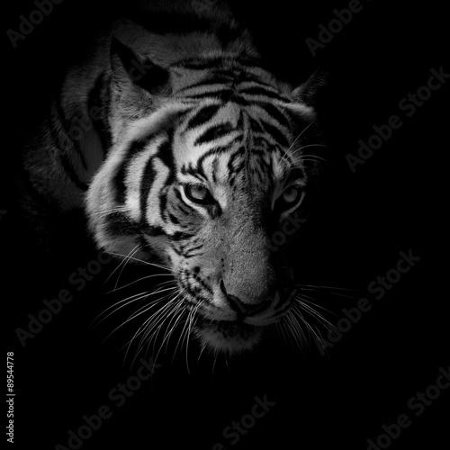 einzelne bedruckte Lamellen - black & white close up face tiger isolated on black background (von art9858)
