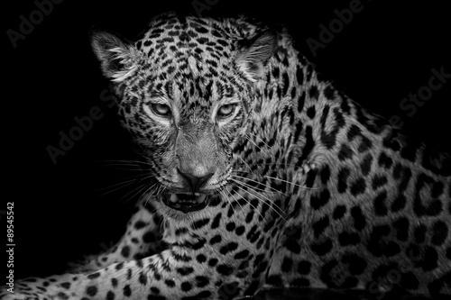 Poster Leopard black & white Leopard portrait isolate on black background