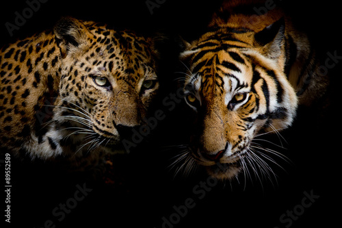 Photo sur Toile Panthère Leopard with blue eyes & Tiger isolate black background