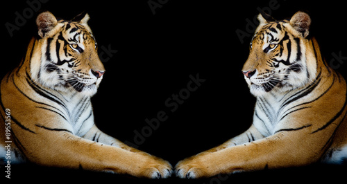 Fototapety, obrazy: Twin beautiful tiger face to face isolated on black background