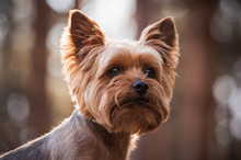Close Up Portrait Of Yorkshire Terrier Dog