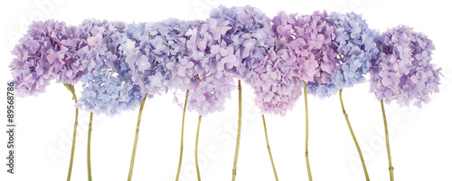 Papiers peints Hortensia Purple flowers hydrangea (Clipping path)