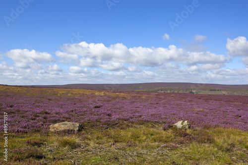 flowering heather moorland Canvas Print
