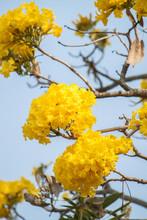 Flower.Tabebuya.yellow