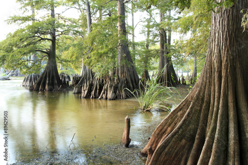 Fotografiet  Bald Cypress Trees on the Edge of a Lake
