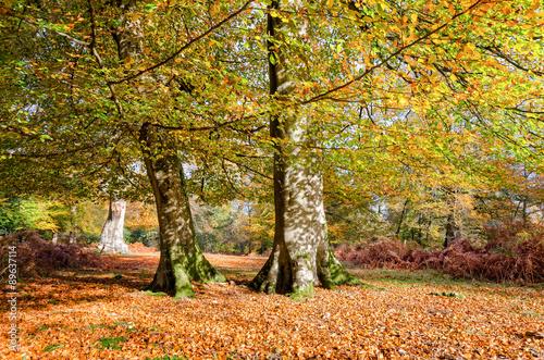 In de dag Bruggen Autumn Trees in the New Forest