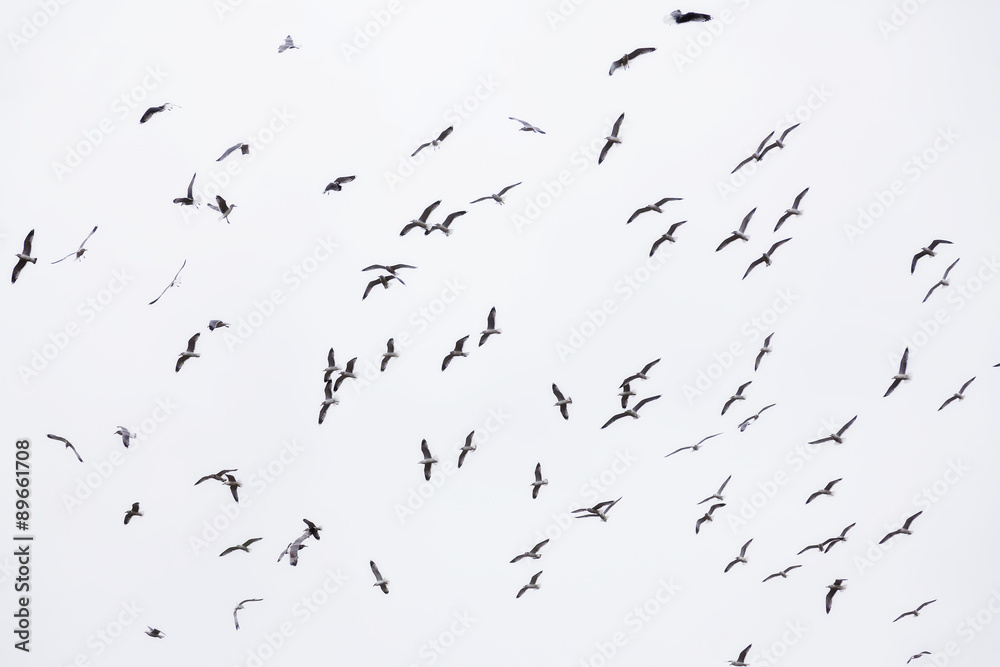 Flock Of Seagulls In Flight Filling Frame