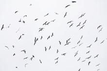 Flock Of Seagulls In Flight Fi...