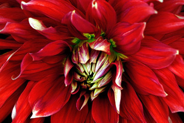 Red flower close-up. Macro. Dahlia.