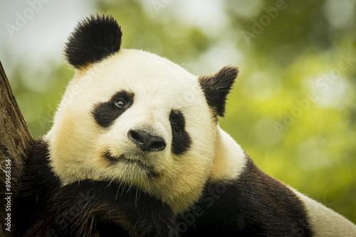 Stickers pour portes Panda Panda awake