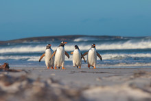 Four Gentoo Penguins Walking From The Sea On A Sunny Winter's Da