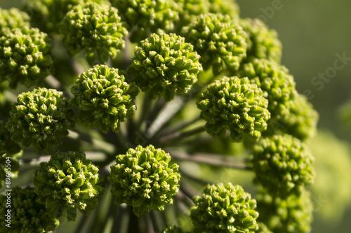 Fotografie, Obraz  green cones, umbelliferous plant