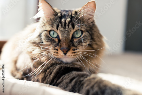 obraz lub plakat Grey cat lying on bed