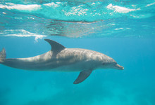 Bottlenose Dolphin Swimming In A Lagoon
