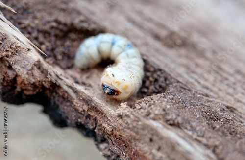 little woodworm