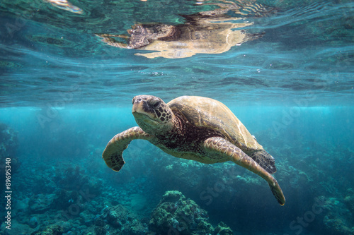 Fotobehang Schildpad Green Sea Turtle at Surface