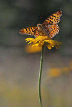 Queen Of Spain Fritillary Butt...