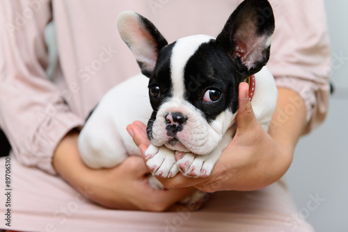 Deurstickers Franse bulldog French Bulldog puppy