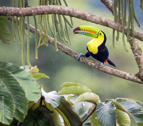 Tuinposter Toekan JUST THE TENDER END PLEASE...the Keel-billed Toucan (Ramphastos sulfuratus) has selected a particular piece of this hanging