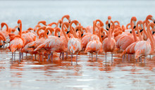 Flock Of Greater Flamingos (Phoenicopterus Roseus) In Mexico