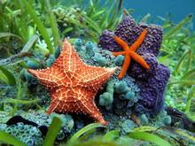 Starfish Underwater Over Colorful Marine Life