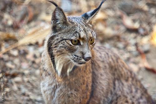 Foto op Plexiglas Lynx Iberian lynx portrait