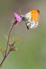 Purple Wild Geranium - Geraniu...