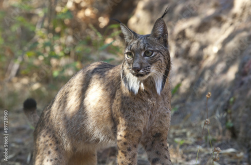 Foto auf Leinwand Luchs Iberian lynx