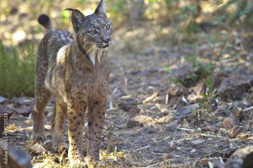Poster Lynx Iberian lynx on alert