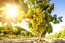 White Wine Grapes In Vineyard ...