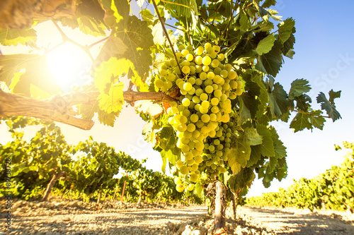 Poster Wijngaard White wine grapes in vineyard on a sunny day