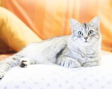 Siberian Cat, Silver Variant F...