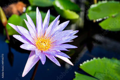 Foto  Water lily , Lotus with pond background