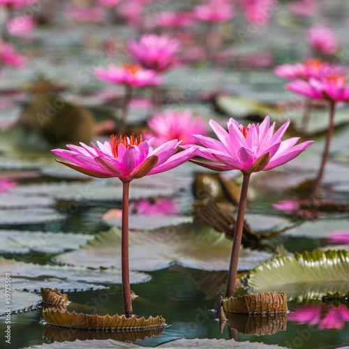 Deurstickers Waterlelies Beautiful pink water lily closeup