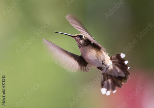 Fényképezés  Hovering Hummingbird with Blurred Background